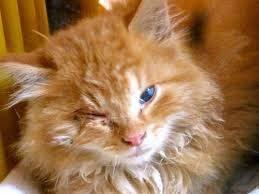 Les maladies des yeux chez le chat