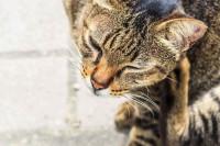 Les symptômes des poux chez le chat