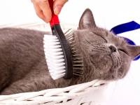 Le brossage du poil du chat