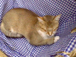Chat Nougat - Abyssin Mâle (0 mois)