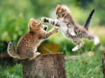 Chat Les Chats Volants - Abyssin Mâle (2 mois)