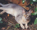 Chat Abyssin - Abyssin  (0 mois)