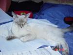 Chat Ulotte en pleines revisions - Balinais Femelle (0 mois)