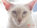 Chat Humphrey-hunter - Balinais Femelle (0 mois)