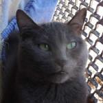 Chat shiva - Bleu Russe Femelle (4 ans)