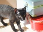 Chat bagheera - Bleu Russe Femelle (3 mois)