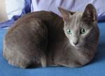 Chat Plume - Bleu Russe Femelle (0 mois)