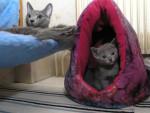Chat Avec maman - Bleu Russe Femelle (0 mois)