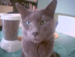 Chat Tommy - Bleu Russe  (0 mois)