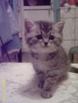 Chat Me voici le chat bleu russe - Bleu Russe Femelle (0 mois)
