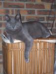 Chat Zazou un chat qui pose pour la photo!!!! - Bleu Russe Femelle (0 mois)