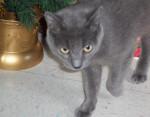 Chat Stubby - Bleu Russe Femelle (4 ans)