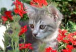 Chat chat - Bobtail Américain Mâle (5 ans)