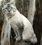 Chat American Bobtail - Bobtail Américain  (0 mois)