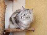 Chat Le Bobtail des Kouriles - Bobtail Russe (Bobtail des Kouriles)  (0 mois)