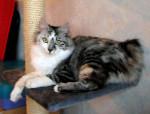 Chat Alionka  se repose - Bobtail Russe (Bobtail des Kouriles)  (0 mois)