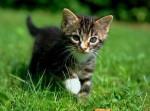 Chat chaton - British Longhair Femelle (5 ans)
