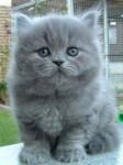 Chat British Longhair - British Longhair  (0 mois)