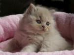 Chat Le British Longhair - British Longhair Femelle (0 mois)