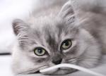 Chat Le British Longhair - British Longhair  (0 mois)