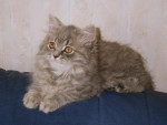 Chat Veelyann - British Longhair Femelle (0 mois)