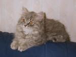 Chat Veelyann - British Longhair  (0 mois)