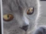 Chat IRIIIS! - British Shorthair Femelle (2 ans)