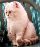 Chat British Shorthair - British Shorthair  (0 mois)