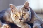 Chat British Shorthair - British Shorthair  (0 mois)