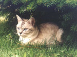 Chat Tanya - British Shorthair Femelle (0 mois)