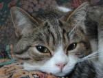 Chat British shorthair brown tabby - British Shorthair Femelle (0 mois)
