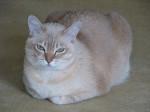 Chat Luna - Burmilla Femelle (0 mois)