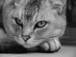 Chat  - Burmilla Femelle (0 mois)
