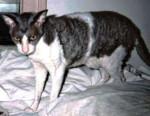 Chat  - California Rex Femelle (0 mois)