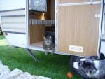 Chat chat européen ou de gouttière tilki - Européen Femelle (0 mois)