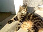 Chat chat européen ou de gouttière tilki - Européen  (0 mois)