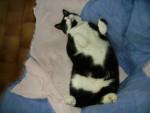 Chat chat européen ou de gouttière talia - Européen  (0 mois)