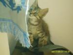 Chat chaton européen - Européen  (0 mois)
