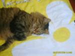 Chat européén tigrer ponpon - Européen  (0 mois)