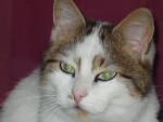 Chat Vahiné, européenne - Européen  (0 mois)