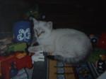 Chat chat européen simba - Européen  ()