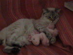 Chat chat européen simba - Européen  (0 mois)