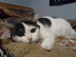 Chat chat européen / frisbee - Européen  ()
