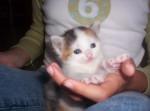 Chat Mimi (chat européen) - Européen  (0 mois)