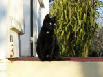 Chat caty  européenne - Européen  (0 mois)