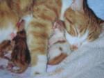 Chat européen         Carotte - Européen  (0 mois)