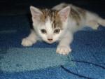 Chat Titoune, chat europeen - Européen  (0 mois)