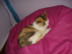 Chat Minnie, chat europeen - Européen  (0 mois)