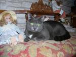 Chat CARBONE,  chat européen, robe grise - Européen  (0 mois)