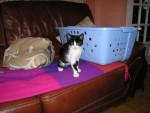 Chat chat noir et blanc type Européen - Européen  (0 mois)